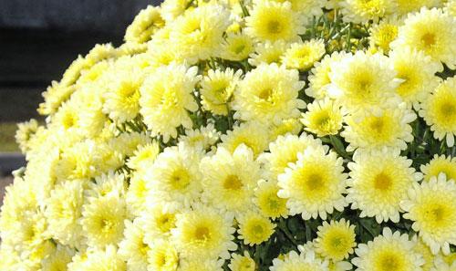 Offerta del Mese di Novembre: Crisantemi